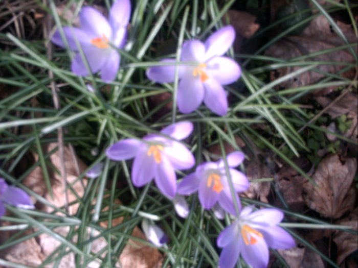 20120222 Crocuses Bloomed.JPG