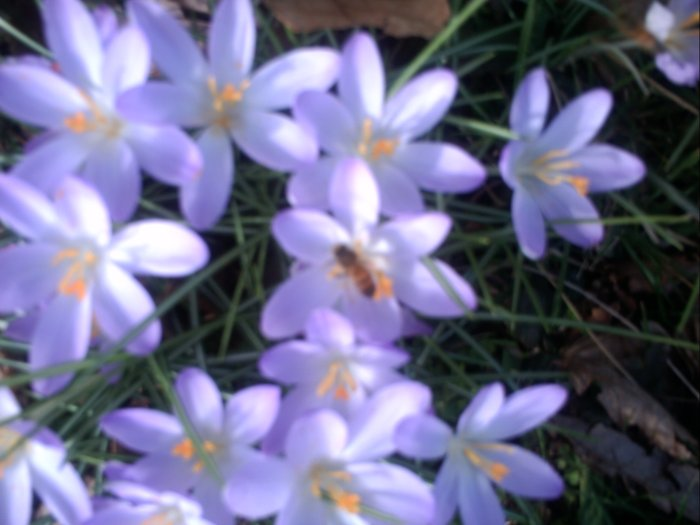 Bee on Crocus.JPG